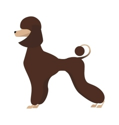 Isolated adorable chocolate young poodle vector