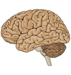 Human Brain Brown vector image