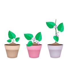 Centrosema pubescens plant in ceramic flower pots vector
