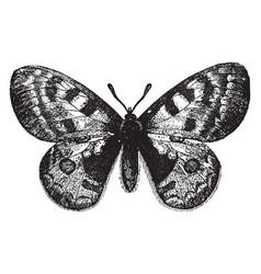 Parnassius apollo vintage vector