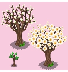 Stages of growth and flowering cherry trees sakura vector