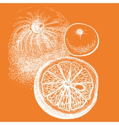 Hand drawn orange citrus in vector