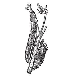 Caterpillar and chrysalis of pieris brassicae vector