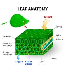leaf anatomy vector image