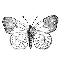 anthocharis cardamines vintage vector image vector image