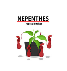 Red nepenthes plant in pot isolated on white vector