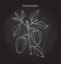 sweet or bell pepper capsicum annuum vector image vector image