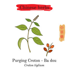 Medicinal herbs of china purging croton vector