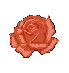 Red rose isolated on a white vector