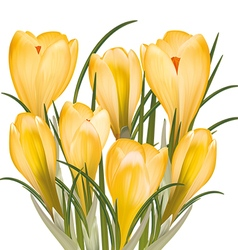 Spring bouquet of yellow crocuses vector