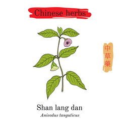 Medicinal herbs of china anisodus tanguticus vector