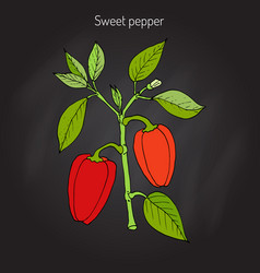 Sweet or bell pepper capsicum annuum vector