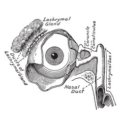 lachrymal apparatus of the eye vintage vector image