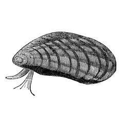 Mussels vintage engraving vector