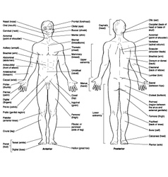 Male exterior anatomy vector image vector image