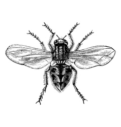 Housefly vintage engraving vector image vector image