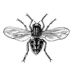 Housefly vintage engraving vector