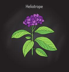 Garden heliotrope heliotropium peruvianum vector