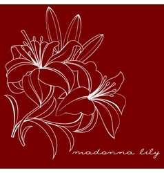 Madonna lily vector
