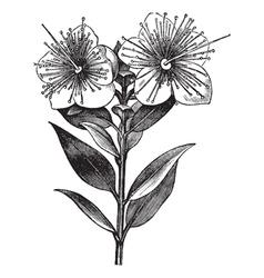 Myrtle vintage engraved vector image vector image