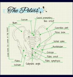 Bones of the human pelvis vector