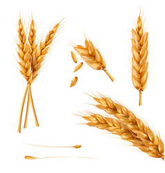 Set of of wheat spikelets vector