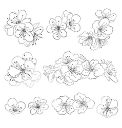 Drawing cherry blossoms vector