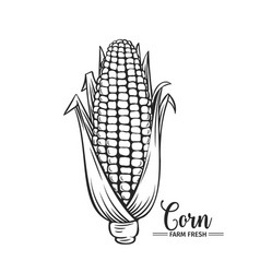 hand drawn corn icon vector image