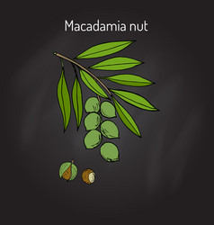 Macadamia nut branch vector