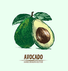 Digital detailed color avocado hand drawn vector