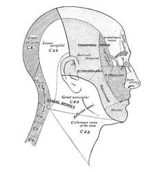 Surface areas of nerves of the head and neck vector