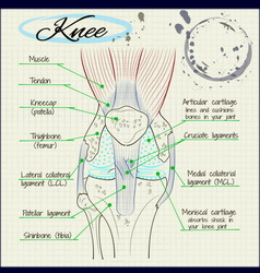 Structure of the human knee vector
