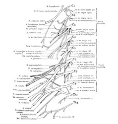 Cervical and brachial nerve plexuses vintage vector