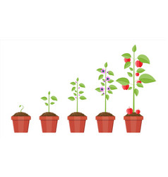 growth of plant in pot from sprout to fruit vector image vector image