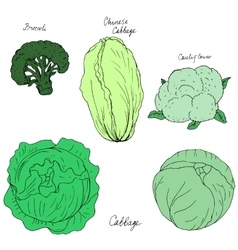 Hand drawn different kind of cabbage vector