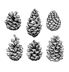 Pine cone set botanical hand drawn vector