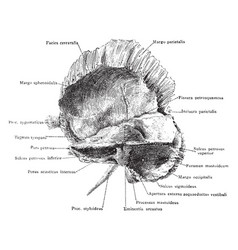 Inner aspect of the temporal bone vintage vector