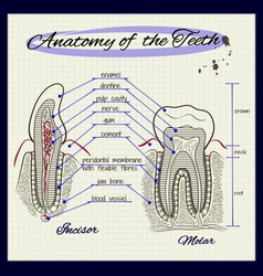 structure of human tooth vector image