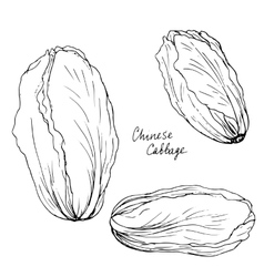 Hand drawn chinese cabbage vector