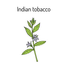 Indian tobacco lobelia inflata or asthma weed vector
