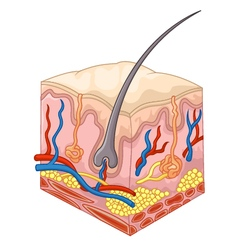 The layers of skin and pores vector