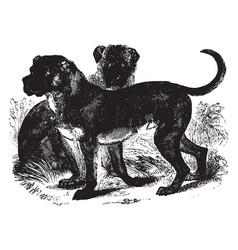 Cuban mastiff vintage vector