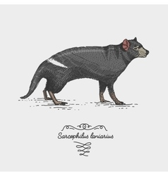 tasmanian devil engraved hand drawn vector image