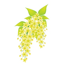Cassia Fistula Flower Isolated on White Background vector image vector image