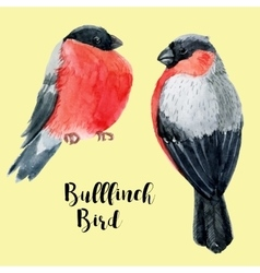 Watercolor hand drawn bullfinch vector image vector image