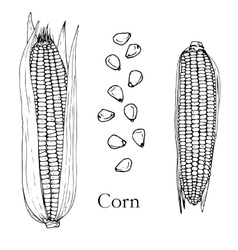 Hand drawn corn cobs and seeds vector