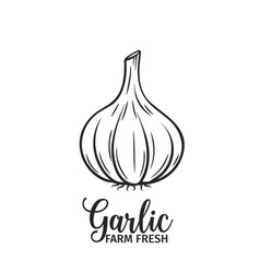 hand drawn garlic icon vector image vector image