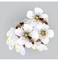 Apricot flowers with bees vector