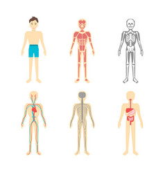 Cartoon color human anatomical system set vector