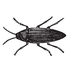 Cucujo firefly vintage vector